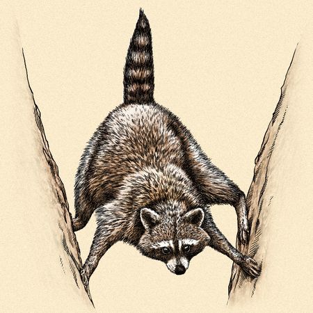 artful: engrave isolated raccoon illustration sketch. linear art
