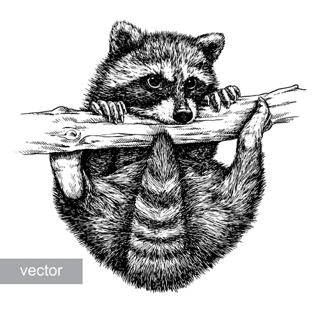 artful: engrave isolated vector raccoon illustration sketch. linear art