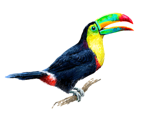 tropical birds: Toucan sitting on tree branch isolated on white background. Tropical birds. Drawn illustration.