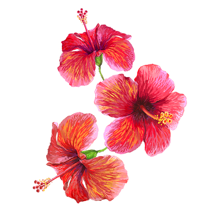 Tropical plants isolated on white. Hibiscus flower illustration.