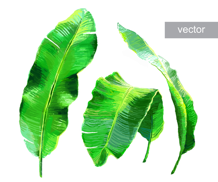 tropical evergreen forest: Palm banana leaves isolated on white. Set of tropical leaves. Vector illustration.