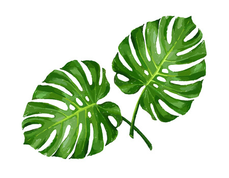 monstera leaf: Tropical monstera leaf color isolated realistic illustration