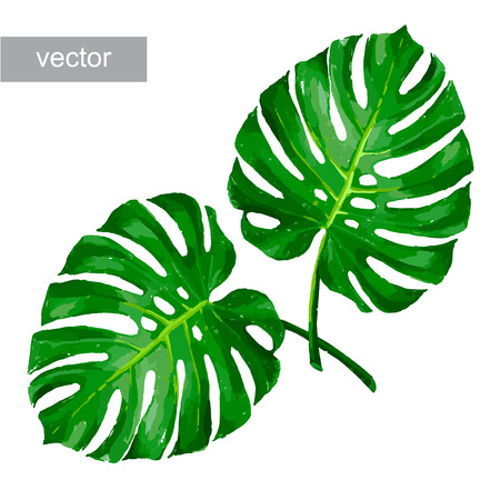 garden flowers: Tropical monstera leaf color isolated realistic illustration vector