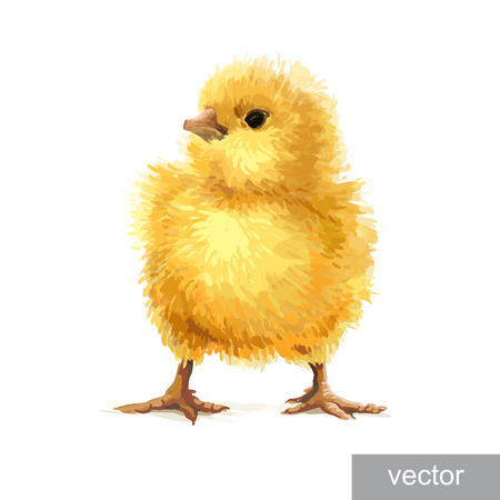 chik: Easter realistic little cute yellow chicken illustration. Vector.