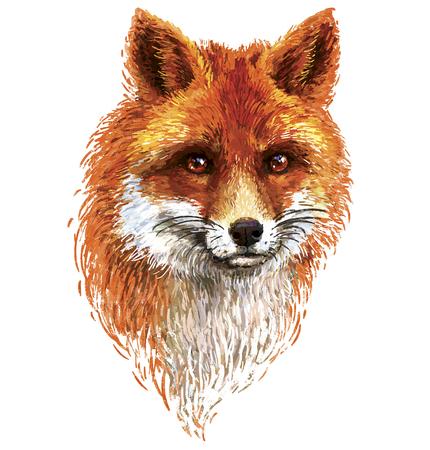 cartoon orange: Colored red fox illustration on white background