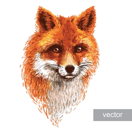 Colored red fox illustration on white background. Vector.