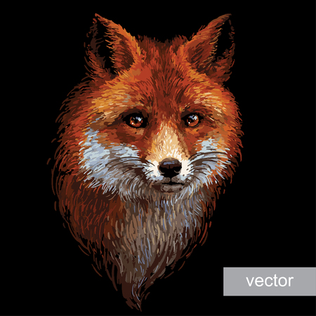 sneaky: Colored red fox illustration on white background. Vector.