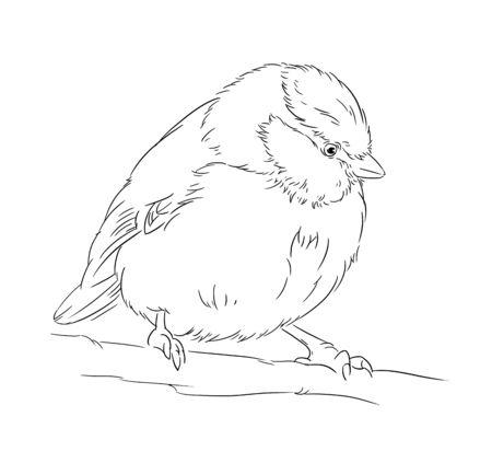 parus: Blue Tit on a branch Parus caeruleus