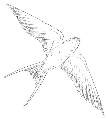 wingspan: fly swallow bird in the sky realistic wings Stock Photo