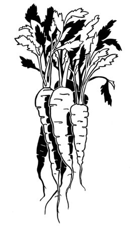 Carrot. Ink hand drawing. Black and white. Food, vegetables and fruit isolated. Book illustration, recipe, menu, magazine or journal article.
