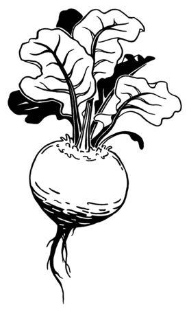 Beetroot. Ink hand drawing. Black and white. Food, vegetables and fruit isolated. Book illustration, recipe, menu, magazine or journal article.