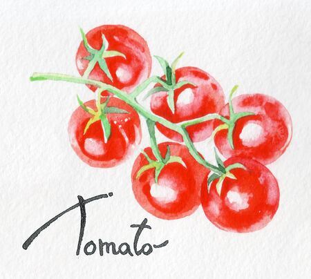 Tomato. Watercolor hand drawing. Food, vegetables and fruit isolated on white background. Book illustration, recipe, menu, magazine or journal article.