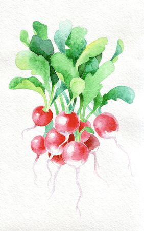 Radish. Watercolor hand drawing. Food, vegetables and fruit isolated on white background. Book illustration, recipe, menu, magazine or journal article. Stock fotó