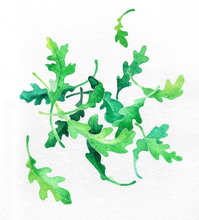 Rucola, arugula green leaves. Watercolor hand drawing. Food, vegetables and fruit isolated on white background. Book illustration, recipe, menu, magazine or journal article. Top view.