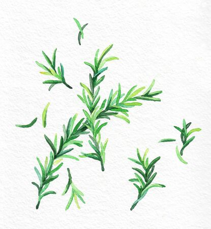 Rosemary green leaves. Watercolor hand drawing. Food, vegetables and fruit isolated on white background. Book illustration, recipe, menu, magazine or journal article. Top view.