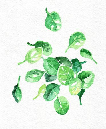 Spinach green leaves. Watercolor hand drawing. Food, vegetables and fruit isolated on white background. Book illustration, recipe, menu, magazine or journal article. Top view.