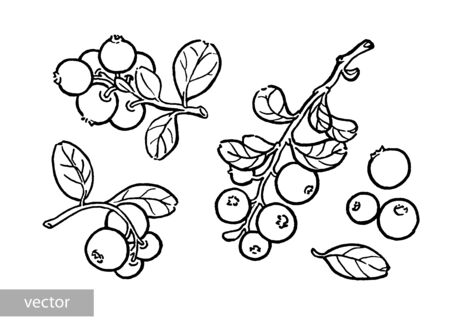 Cowberry, lingonberry, cranberry, bilberry, red bilberry, cranberries, whortleberry hand drawn illustration. Garden forest berry black and white sketch. Aromatic ripe summer dessert. Vector. Illustration