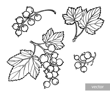 Black currant hand drawn illustration. Garden berry black and white sketch. Aromatic ripe summer dessert. Juicy Ribes nigrum freehand pen branch. Design element for label, poster, print. Vector. Illustration