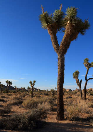 joshua: Joshua trees under beautiful blue sky in Joshua Tree Park