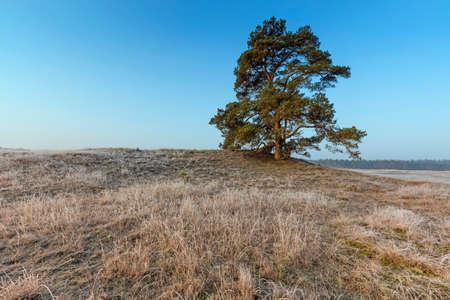 veluwe: Mighty Pine Tree At Veluwe In Winter