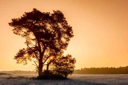 mighty: Mighty Pine Tree At Winter Sunrise