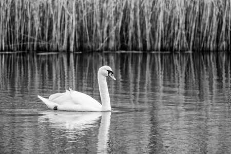 swimming swan: Swimming Swan In Black And White Stock Photo