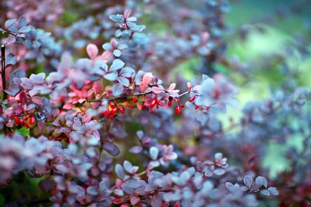 barberry: Barberry plant, close up