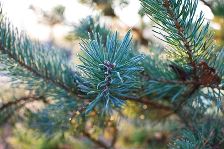 needles pine: Aghi di pino, close up