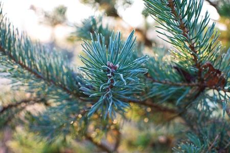 pine needles close up: Pine needles, close up
