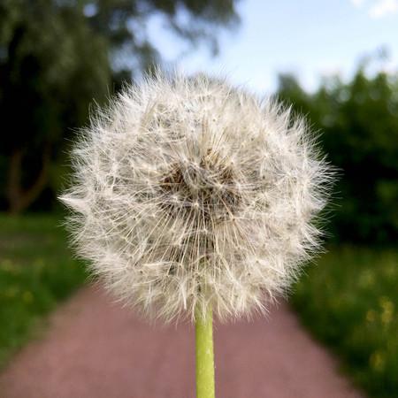 Fleur de pissenlit en été Banque d'images