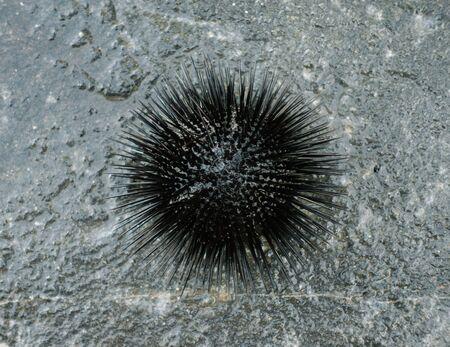 Sea urchin on a stone