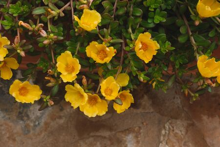 Flowers are blooming in garden surrounding by green leaves. Blossom beautiful yellow Portulaca oleracea or Purslane
