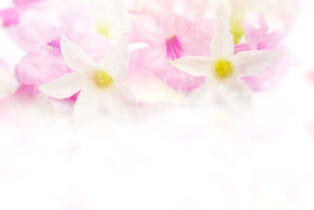 beautiful pink and white romance flower blossom in soft pastel color with bokeh light border and frame, concept for love valentine,wedding or any special events Stock Photo
