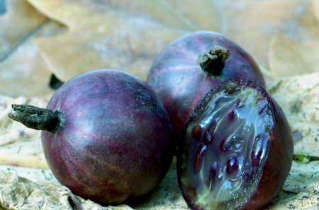 gooseberry bush: Gooseberry