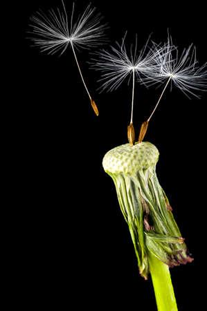 dandelion seed: Dandelion seed head isolated on a black