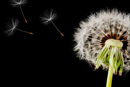 Dandelion seed head isolated on a black background photo
