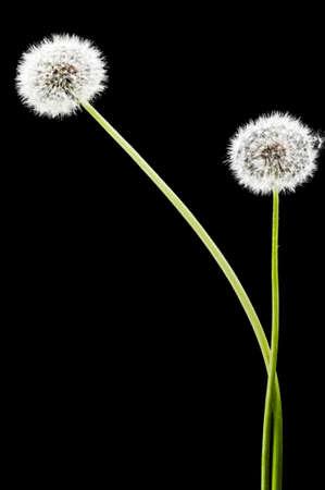 dandelion seed: Dandelion seed heads on a black background Stock Photo