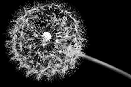 dandelion seed: Dandelion seed head on a black background Stock Photo