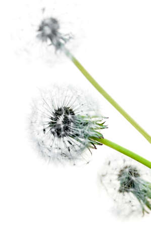 dandelion seed: Dandelion seed heads on a white background