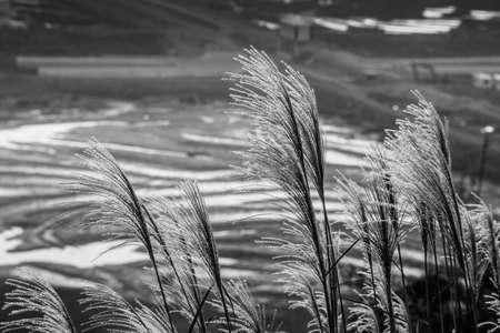 canne: Le canne del vento Archivio Fotografico