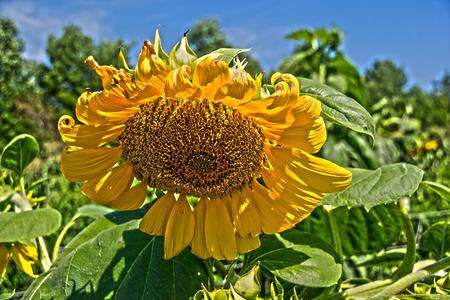 flowers sun: a manmoth  sun flower in a field of sun flowers,