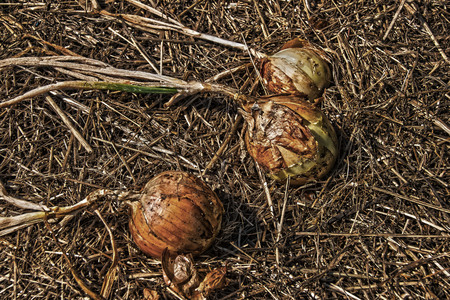 onions: onions in an garden