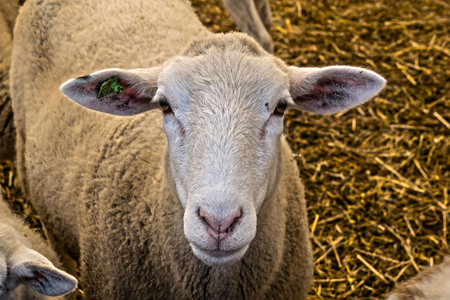 a young sheepon a farm in new engand.