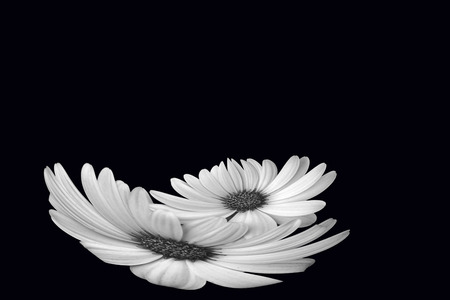 special effect: daisies on a black back ground  with a special effect. Stock Photo