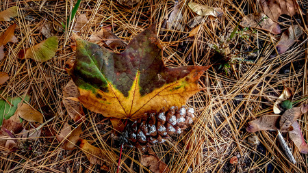an pine cone and leaf resting on pine needles. Imagens