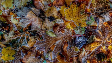morning frost on autumn leaves in new england.