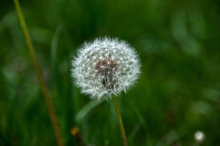 dandelion seeds in a n field in new england Banco de Imagens