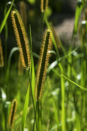 tall grass back lit by the sun Stock Photo