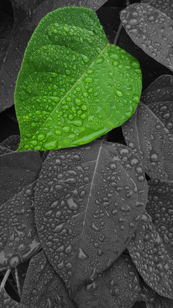 green leaf with rain drops and the rest in black and white. Banco de Imagens