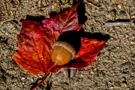 acorn resting on a auumn leaf